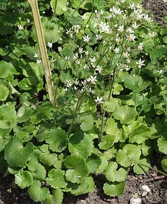 Saxifraga - Round-leaved Saxifrage (S. rotundifolia), whose sticky leaves seem to catch small invertebrates