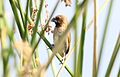 Scaly-breasted Munia (Lonchura punctulata) (26398332441).jpg