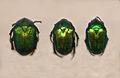 Scarabaeidae - Protaetia speciosa.JPG