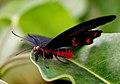 Scarlet Swallow. (Papilio rumanzovia) (9097110319).jpg