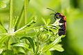 Scharlachroter Feuerkäfer (Pyrochroidae) im Naturschutzgebiet Trunnenmoor IMG 2673.jpg