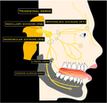 Schematic drawing of the trigeminal nerve.png