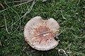 Schiermonnikoog - Parelamaniet (Amanita rubescens) v7.jpg