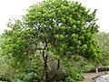Schinus terebinthifolius - Jardín Botánico Canario.jpg
