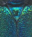 Schwarzerium (Rugosochroma) yunnanum Vives & Lin, 2013 Male Scutellum (26341502805).png