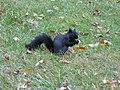 Sciurus Melanistic Squirrel Nebraska 3716.jpg