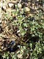 Scleranthus perennis sl11.jpg