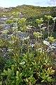 Scots Lovage (Ligusticum scoticum) - Bay Roberts, Newfoundland 2019-08-12 (01).jpg