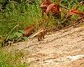 Scraggly Mongoose @ Diamond Head Park (5608357692).jpg