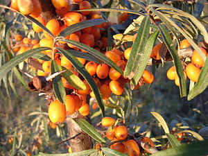 The fruit of the sea buckthorn
