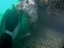 File:Seal playing with NRW diver near Skomer - Morlo yn chwarae gyda deifar CNC yn Sgomer.webm