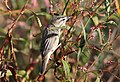 Sedge warbler, Acrocephalus schoenobaenus. at Marakele National Park, Limpopo, South Africa (25610913340).jpg