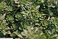 Sedum floriferum Weihenstephaner Gold 3zz.jpg