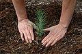 Seedling planting.jpg