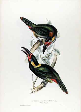 Selenidera - Guianan toucanets (Selenidera culik), from Monograph of the Ramphastidae by John Gould. Female above, male below.
