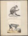 Semnopithecus nemaeus - 1700-1880 - Print - Iconographia Zoologica - Special Collections University of Amsterdam - UBA01 IZ19900037.tif