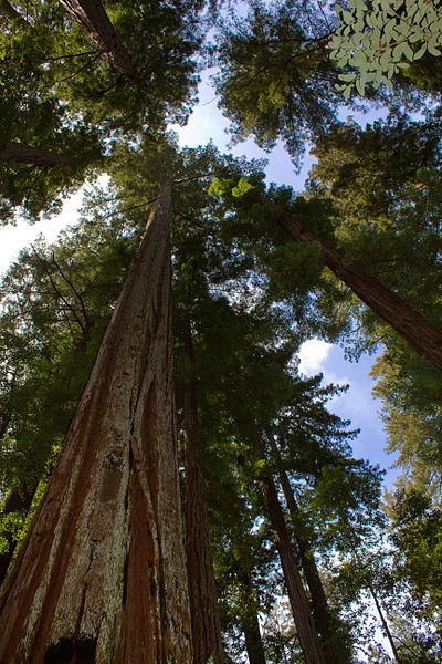Ficheiro:Sequoia sempervirens Big Basin Redwoods State Park 1.jpg