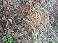 Setaria italica subsp. italica sl3.jpg