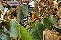 Setophaga fusca Monteverde 05.jpg
