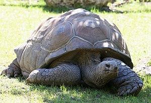 Aldabra giant tortoise - Image: Seychellen Riesenschildkroete Aldabrachelys gigantea Tierpark Hellabrunn 6