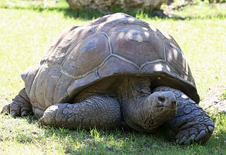 Aldabra giant tortoise species of reptile