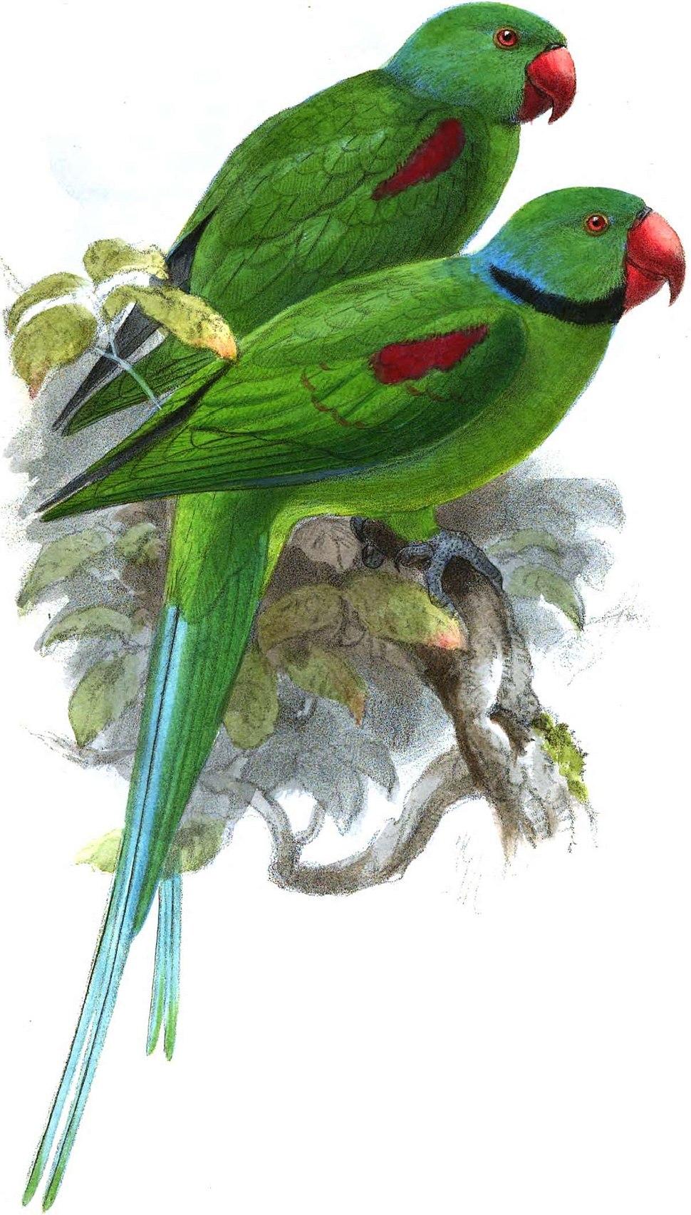 Seychelles parakeet pair