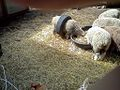 Sheep in a tire.jpg