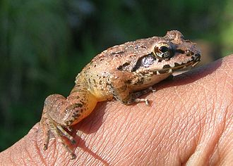 Indirana semipalmata - Adult from Talakaveri shola grassland