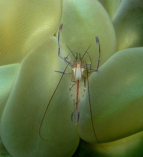 Shrimp on Bubble Coral