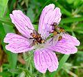 Sicus ferrugineus. Conopid Fly. (- R.H.S. ^) - Flickr - gailhampshire.jpg