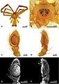 Sidymella lucida (10.3897-zse.95.34958) Figure 13.jpg