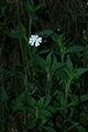 Silene latifolia PID1043-1.jpg