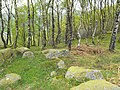 Silver birch on Froggatt Edge - geograph.org.uk - 1282049.jpg