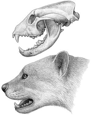 Simocyon - Reconstructed skull and head