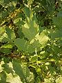 Sinapis alba leaf.JPG