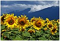 Sintiki sunflowers and Kerkini mountain.jpg