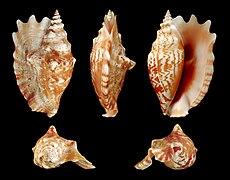 Sinustrombus sinuatus, Bohol, Philippines