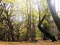 Skogen i mazandaran.jpg