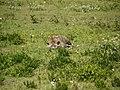 Slapende hyena (6693816399).jpg
