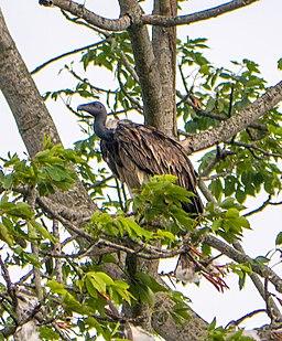 Slender-billed Vulture, Mishmi Hills, India (cropped)