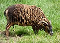 Soay sheep J1.jpg