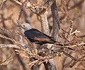 Socotra Starling (Onychognathus frater) female.jpg