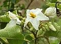 Solanum ferrugineum.jpg
