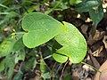 Solena amplexicaulis 11.JPG