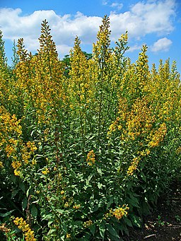 Solidago virgaurea 001