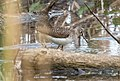 Solitary sandpiper in PP (63795).jpg