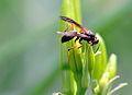 Something bee (2685294751).jpg