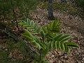 Sorbus aucuparia 123116228.jpg