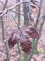 Sorbus aucuparia sl6.jpg