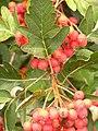 Sorbus intermedia 2014-08 (2).jpg